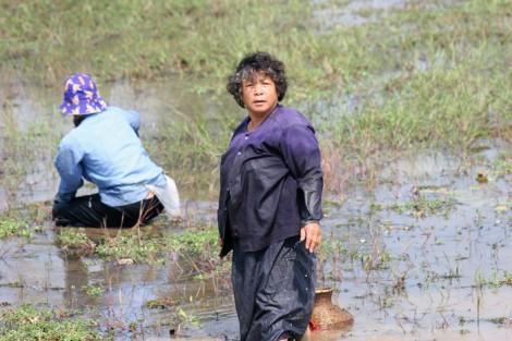 Thais farming rice