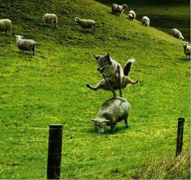 wolf-jumping-sheep1.jpg